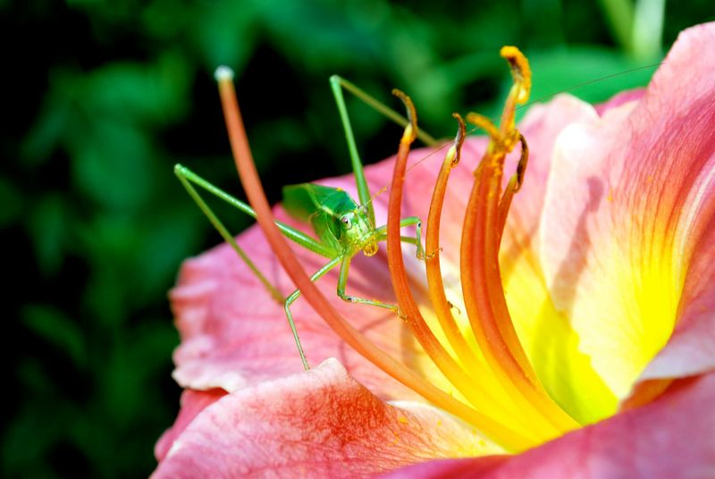 Katydid and flower